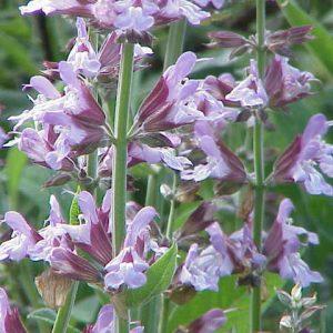 Salvia officinalis 1