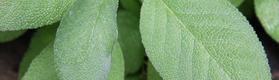 Salvia officinalis 2