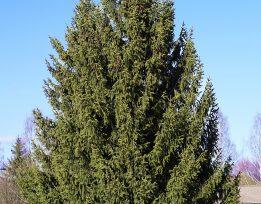 Picea abies 1