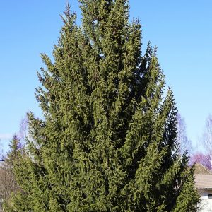 Picea abies 1 fr