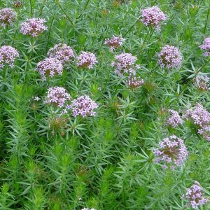Phuopsis stylosa 1